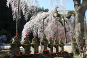 長留の荒川「しだれ桜」は3月20日過ぎから始まります!