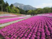 ☆秩父・芝桜祭り☆