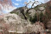秩父☆『桜開花予測』