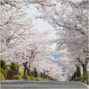 桜咲く秩父☆